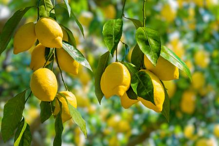 Kiście świeżych żółtych dojrzałych cytryn na gałęziach drzewa cytrynowego we włoskim ogrodzie