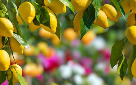 Bunches of fresh yellow ripe lemons with green leaves on lemon tree branches in italian garden, blurred flower on background. Stock Photo