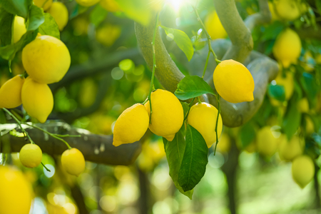 Bunches of fresh yellow ripe lemons with green leaves on lemon tree branches in italian garden. Stock Photo