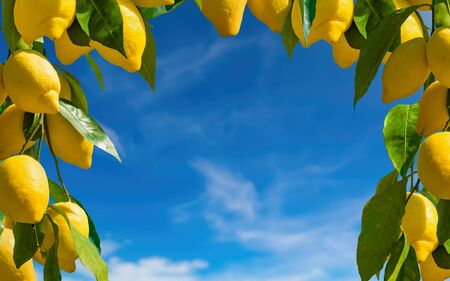 Bunches of fresh yellow ripe lemons with green leaves on blue sky background