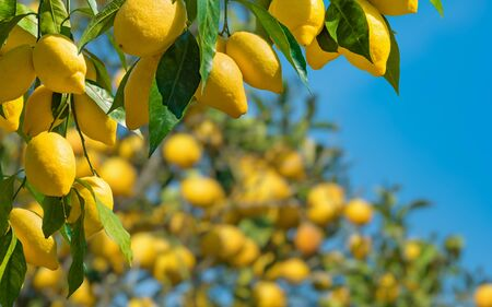 Bunches of fresh yellow ripe lemons with green leaves on lemon tree branches in italian garden in sunny weather.