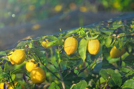 Bunches of fresh yellow ripe lemons with green leaves on lemon tree covered by protective mesh.