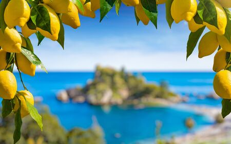 Bunches of fresh yellow ripe lemons with green leaves in form of frame. Isola Bella located near Taormina, Sicily in blurred background.