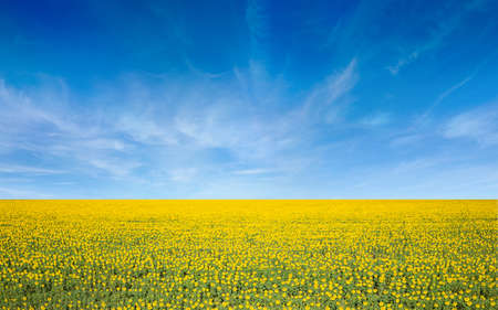 Aerial view of wide field of yellow blooming sunflowers and blue sky with light white clouds 免版税图像