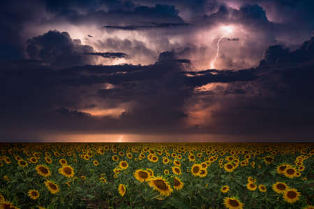 Huge lightnings and heavy rain in dark stormy sky, climate change and weather forecast concept, wide field of yellow blooming sunflowers