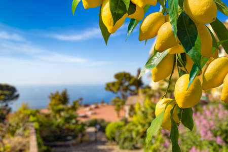 Lemon garden in Capri island ready for harvest. Bunches of fresh yellow ripe lemons with green leaves on background of blue sky and sea. 免版税图像