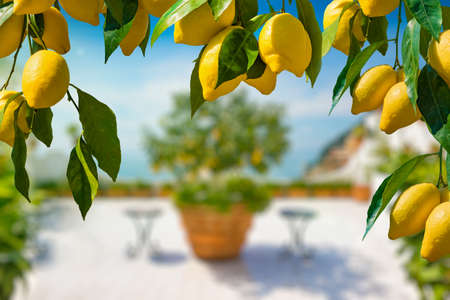 Bunches of fresh yellow ripe lemons with green leaves in form of frame, lemon tree grows in blurred background. 免版税图像