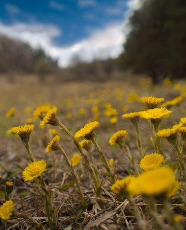 coltsfoot meadow landscape with clouds and blue sky. shallow dof. photo
