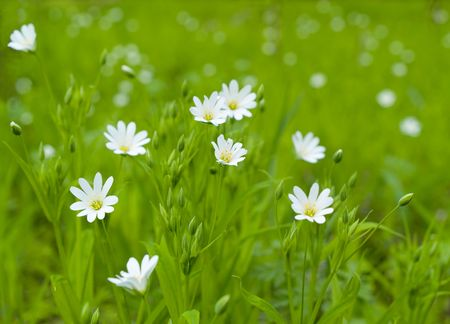 field of daisies: landscape with green grass and white flowers. shallow dof Stock Photo