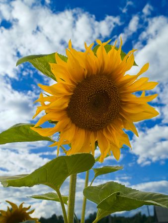 closeup of yellow sunflower over blurred background with sky and clouds