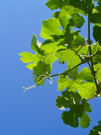 grapes leaves over summer blue sky background Stock Photo