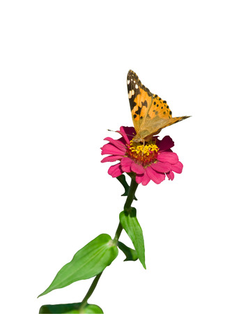 closeup of orange butterfly sitting on pink flower Stock Photo