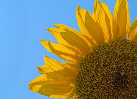 purt of sunflower close up over blue sky