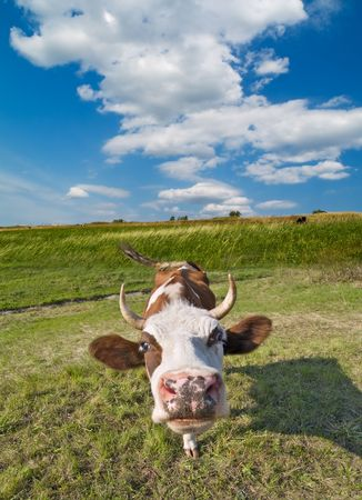cow portrait over green grass and blue sky landscape Stock Photo