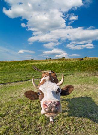 Kuh-Portr�t �ber gr�ne Gras und blauer Himmel Landschaft