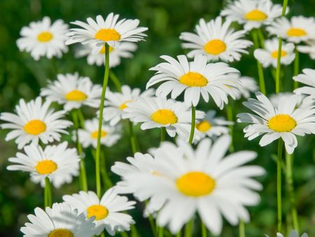 close-up of sunny chamomile field. shallow dof Stock Photo - 3200817