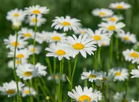 close-up of sunny chamomile field. shallow dof