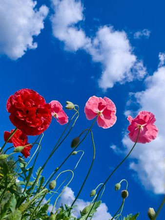 decorative red and pink poppies over sky with clouds background