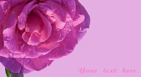close-up of rose over pink background card. shallow dof photo