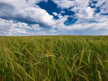 summer landscape with wheat field sky and clouds