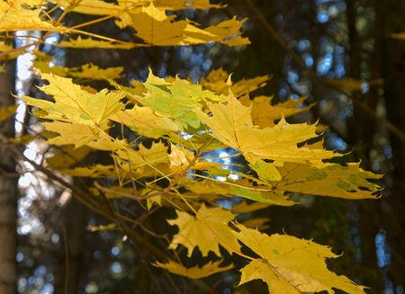yellow mapple leaves over dark forest background. shallow dof photo