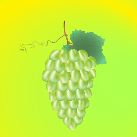 isolated green grape vine with leaf Vector