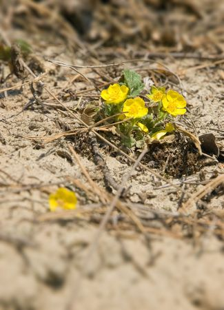spring yellow flowes closeup. shallow dof Stock Photo - 4958813