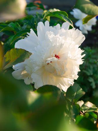 peony flowers closup. shallow dof Stock Photo - 5079192