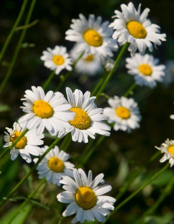 camomile flowes closeup. shallow dof Stock Photo - 5079190