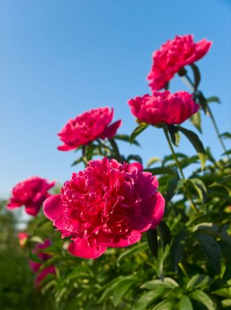 peony flowers closup. shallow dof Stock Photo - 5086103