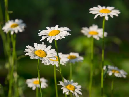 camomile flowes closeup. shallow dof Stock Photo - 5086101
