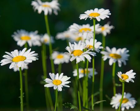 camomile flowes closeup. shallow dof Stock Photo - 5086102