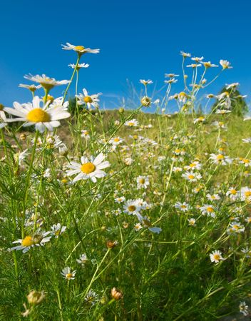 summer landscape with blue sky and camomile flowers. shallow dof Stock Photo - 5415421