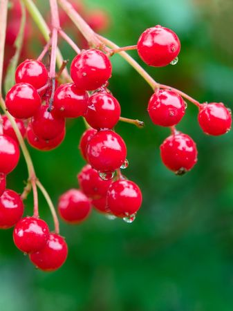 red berries with water drops over green closeup. shallow dof Stock Photo - 6719337