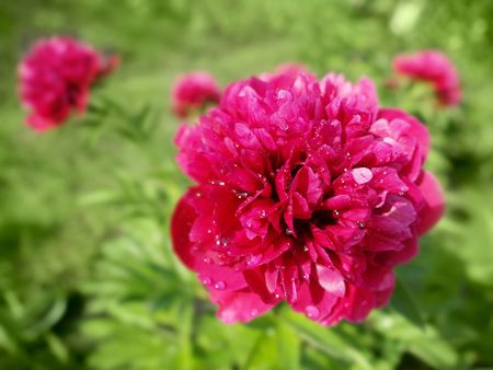pink-red peony flowers closeup over green photo