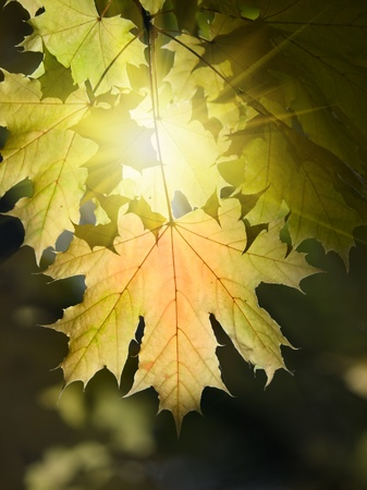 vibrant maple autumn leaves and sun shallow dof photo