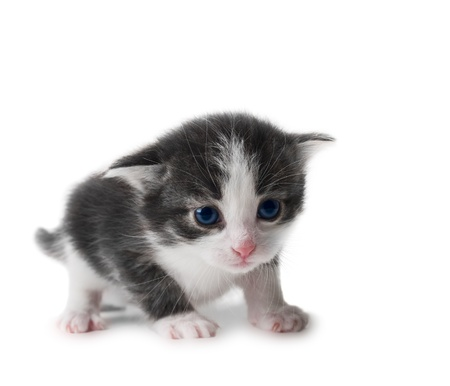 black and white kitten closeup isolated over white shalow dof