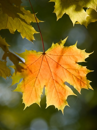 sunny maple leaves autumn landscape shallow dof photo