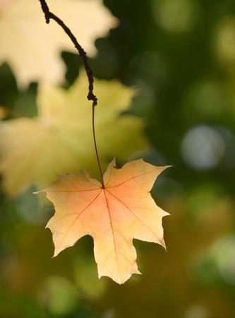 sunny maple leaves autumn landscape shallow dof