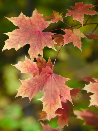 sunny maple leaves autumn landscape shallow dof