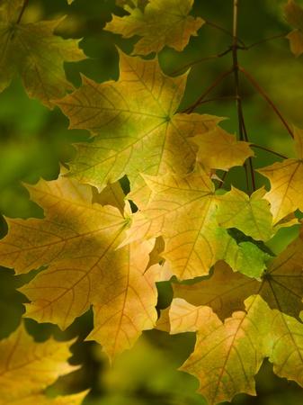 autumn leaves falling: sunny maple leaves autumn landscape shallow dof