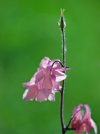 campanula flower closeup over green. shallow dof photo