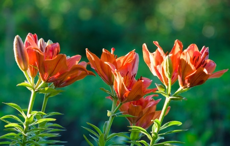 orange lily flowers closeup over green shallow dof Stock Photo - 12372732