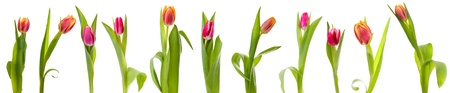 tulips isolated over white background collage photo