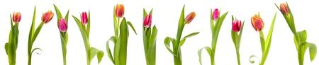 Tulpen auf wei�em Hintergrund isoliert Collage