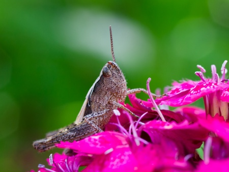 grasshopper on pink flower ckoseup macro. shallow dof photo