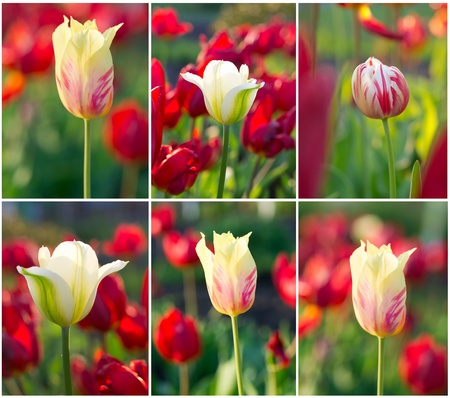 set of tulips field images summer landscape xxl photo