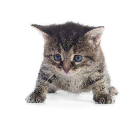 tabby kitten Nahaufnahme auf wei�em Hintergrund shallow dof isoliert