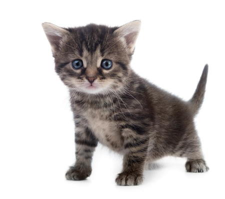 tabby kitten closeup isolated on white background shallow dof