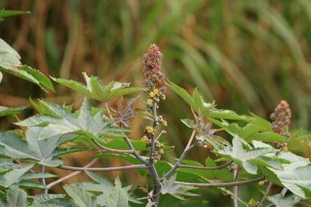 Euphorbiaceae tree close-up